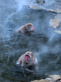 Macaques In Hot Spring