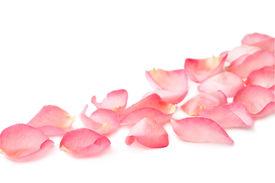 pic of pink rose  - pink rose petals on white background - JPG
