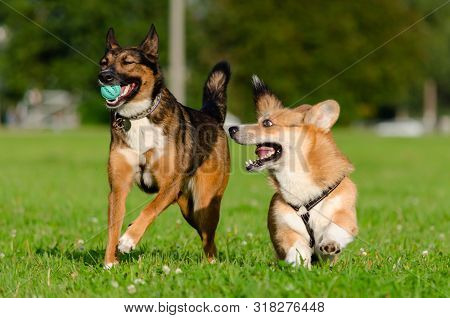 poster of Young Energetic Welsh Corgi Pembroke Is Playing With Half-breed Dog. Corgi With A Long Tail. How To