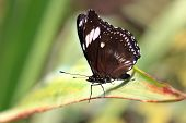 Family: papilionidae. Species: Papilio polytes (male) resting on a green leaf. (Common Mormon, Klein