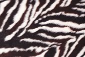 Faux Fur With Zebra Print. Black And White Background. Fluffy Surface Texture. Fashionable Fur Coat. poster