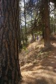 Hiker On Trail With Ponderosa Pines
