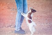 Dog Obedience Training Woman Owner Legs And Chihuahua Lean On It Looking Up poster