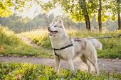 Young Husky Dog For A Walk In The Park In Autumn. Husky Breed. Light Fluffy Dog. Walk With The Dog.  poster
