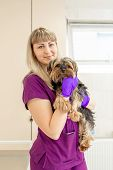Young Girl Vet In The Clinic Hold In Hands A Happy Dog Breed Yorkshire Terrier After Exam. poster