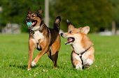 Young Energetic Welsh Corgi Pembroke Is Playing With Half-breed Dog. Corgi With A Long Tail. How To  poster