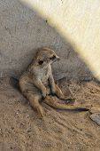 Meerkat Sitting Against The Wall And Gazing At His Fellow poster