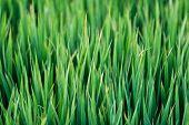 Green Grass Texture Background, Green Lawn, Backyard For Background, Wallpaper, Green Lawn Desktop P poster