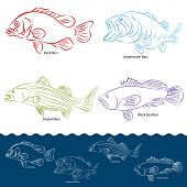 stock photo of bass fish  - An image of a four types of bass fish - JPG