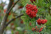 Autumn Season. Fall Harvest Concept. Autumn Rowan Berries On Branch. Amazing Benefits Of Rowan Berri poster