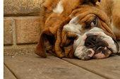 Bulldog 9 Month