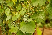 Green Grapes Growing On Grape Vines. Unripe, Young Wine Grapes In Vineyard, Early Summer. Bunch Of G poster