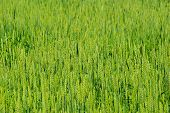 Green background of the wheat field