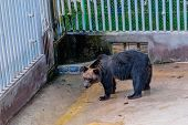 Adult Asiatic Black Bear Standing In Corner Of Cage At Local Zoo. poster