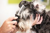 Professional Groomer Combing Schnauzer Dogs Hair With A Comb . poster