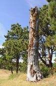 stock photo of western nebraska  - dead pine tree and forest - JPG