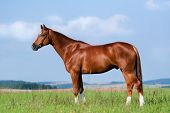 Chestnut horse in field - conformation