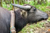 Muddy Water Buffalo Harnessed And Ready To Work