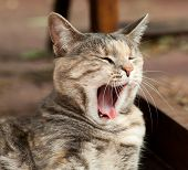 Yawning Tortoiseshell-tabby Cat
