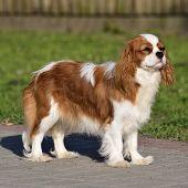 Young Cavalier King Charles Spaniel Blenheim A Coat