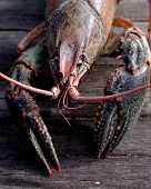 stock photo of crawdads  - freshwater crayfish showing head, claws and antennas