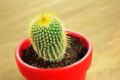 Cactus In A Red Pot, Closeup