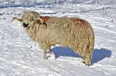 Purebred Domestic Fleecy Ram In The Snow poster