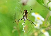 Wasp spider (Argiope bruennichi) with victim
