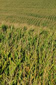 Agriculture And Cornfield