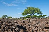Tropical Landscape With Big Tree And Lava Rock
