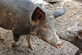 image of farrow  - Wild boar with farrow in the farm - JPG
