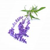 pic of blue-salvia  - Sprigs of Blue Salvia similar in looks to lavender