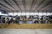 picture of dairy cattle  - The cows in the stable in dairy farm eating straw through fences - JPG