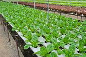 Hydroponic Vegetables Plantation