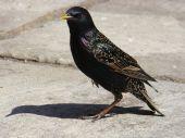 Common Starling,sturnus Vulgaris