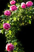Historic Scented Roses