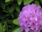 Purple Rhododendron