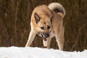 foto of laika  - West Siberian Laika with a stick in winter forest - JPG