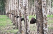 Tree Rubber Cup Line
