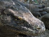Close Up of a Komodo Dragon in the Wild