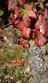 Pinot Noir Vine Stem