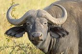 stock photo of cape buffalo  - Portrait of an african buffalo  - JPG