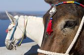 Donkey in Thira.