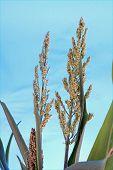 Corn Stalk And Tassel