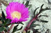 Carpobrotus (commonly Known As Pigface, Ice Plant, And Hottentot Plant) Is A Genus Of Ground-creepin poster