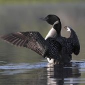 Common Loon Flapping Its Wings To Dry Them