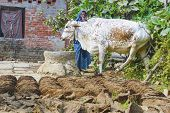 Woman At Her Farm With Cow Dung Cakes And Her Cow Walking Around The Farm