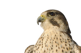 picture of falcons  - closeup of a Peregrine Falcon crossbred with a Prairie Falcon and Gyrfalcon isolated on white - JPG
