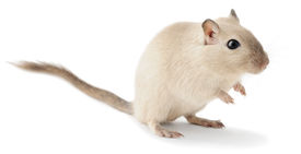 stock photo of gerbil  - Cute little gerbil isolated on white background - JPG