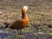 Red Duck With Dark Neck And A Black Beak Walks